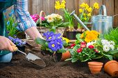picture of primrose  - Gardeners hands planting flowers in pot with dirt or soil at back yard