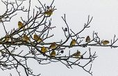 Oil Painting Stylized Photo Of Flock Of Yellowhammers Sitting On Tree Branches In Winter.