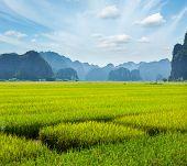 Rice field. Tam Coc, Vietnam