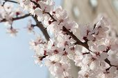 Branches of a white flowering apricots with a sunlight