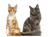 Maine Coon kittens sitting together, isolated on white