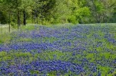 Texas Bluebonnets blooming in spring