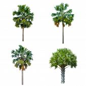 Set Of Palm Tree Isolated On White Background