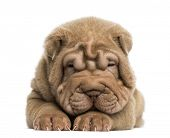 image of shar-pei puppy  - Front view of a Shar Pei puppy lying down - JPG
