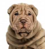 Close-up of a Shar Pei puppy, isolated on white