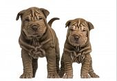 Front view of two Shar Pei puppies standing, looking at the camera, isolated on white
