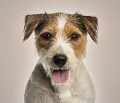 Close-up of a Parson russel terrier panting, looking at the camera, on beige background