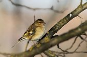 Female Fringilla Coelebs In The Garden