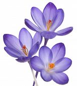 stock photo of indigo  - Studio Shot of Violet Colored Crocus Flowers Isolated on White Background - JPG