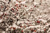Rose Hip In Winter