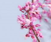 Closeup of a blooming twig of an Eastern Redbud tree against blue sky, with copy space