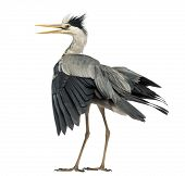 Rear view of an Grey Heron flapping its wings, screaming, Ardea Cinerea, 5 years old, isolated on wh