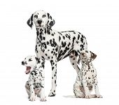 Dalmatian mom and puppies, isolated on white
