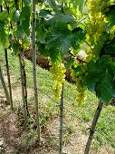 White Grapes On The Vine In Tuscany, Italy