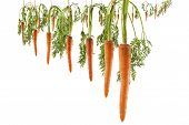 foto of dangling a carrot  - Bunch of lined carrots hanging on strings on a white background as a concept of continuous motivation - JPG