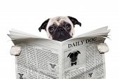 image of pug  - pug dog reading a the news on the newspaper isolated on white background - JPG