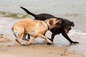 foto of labradors  - Two Labrador Retriever Dogs Playing On The Beach - JPG