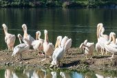Flock Of Great White Pelicans Near A Lake
