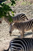 Equus Quagga, Common Zebra