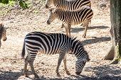 Equus Quagga, Common Zebra