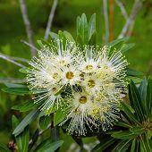 White Xanthostemon Flowers.