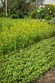 Mustard grows and will be used, as green fertilizer