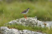 Redshank With Ringed Plover