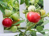Homegrown Tomatoes On White Fence