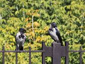 Two Beautiful Black Crow