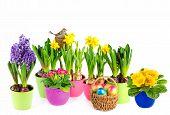 Hyacinth, Pink Primulas, Yellow Daffodils