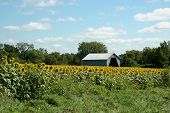 Barn in Sunflower Field