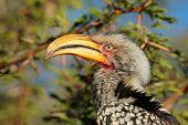 Portrait of a yellow-billed hornbill (Tockus flavirostris), South Africa