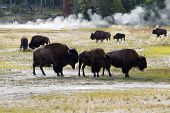 picture of female buffalo  - Horizontal image of a family of North American Buffalo with herd and hot springs in background within Yellowstone Park - JPG