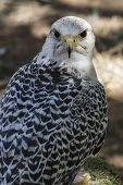 beautiful white falcon with black and gray plumage