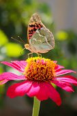 Vanessa cardui butterfly on the flower zinnia