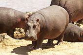 Masai Mara Hippo