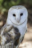 White-headed owl posing and looking at camera