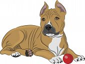 stock photo of american staffordshire terrier  - Puppy american staffordshire terrier with a red ball - JPG