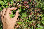 Hand and Bunch of blackberries