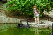 little girl feeding a black swan
