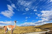 Gravel road between the mountains and trusting guanaco -  small camel. National Park Torres del Pain