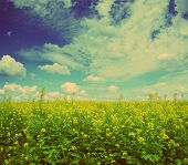 beautiful flowering rapeseed field under blue sky with clouds - vintage retro style