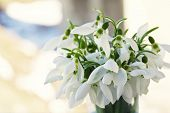 Lovely Snowdrop Flowers Soft Focus