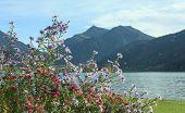 Autumnal Flowerbed With Alpine Aster,  Lake Schliersee, Bavaria