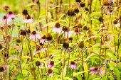 Pink Coneflowers In Different Stages Of Their Life Cycle