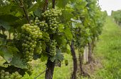 grape vines from south Moravia