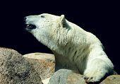 Polar - Ice Bear