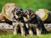 stock photo of shepherds  - Six weeks old pedigree german shepherd puppies outdoors on a sunny day - JPG