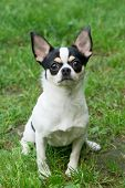 Chihuahua Sits On The Grass