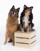 Belgian Shepherd Tervueren and Shetland Sheepdog